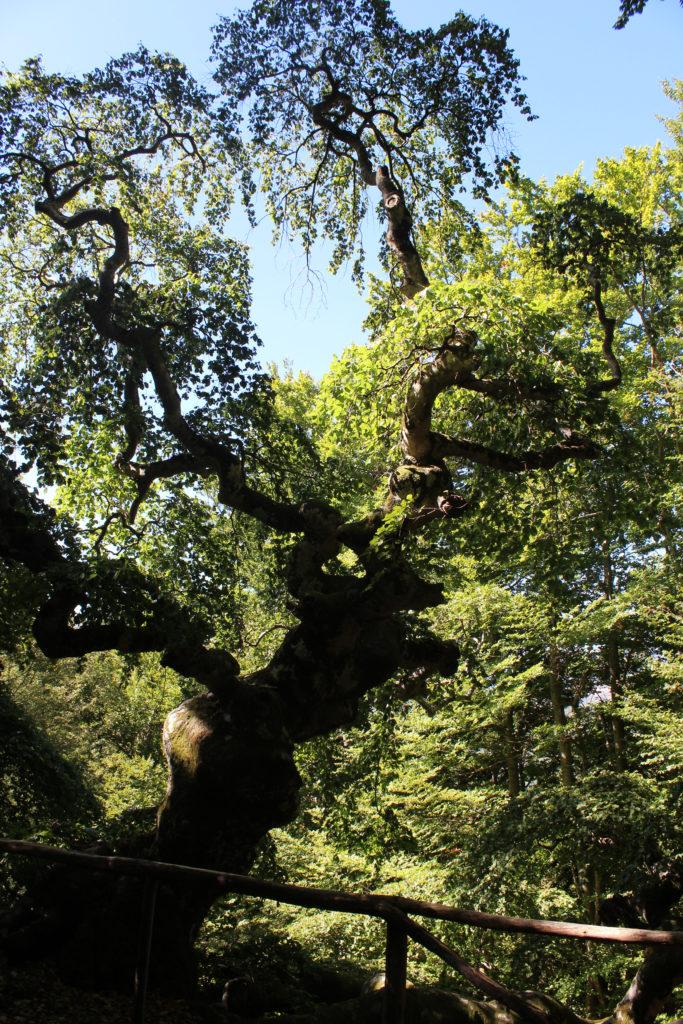 Faggio San Francesco – The beech tree of St Francis (Photo: © Henri Craemer)